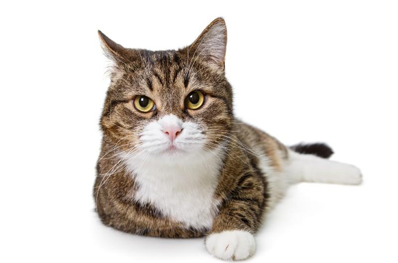חתול רוצה מזון איכותי