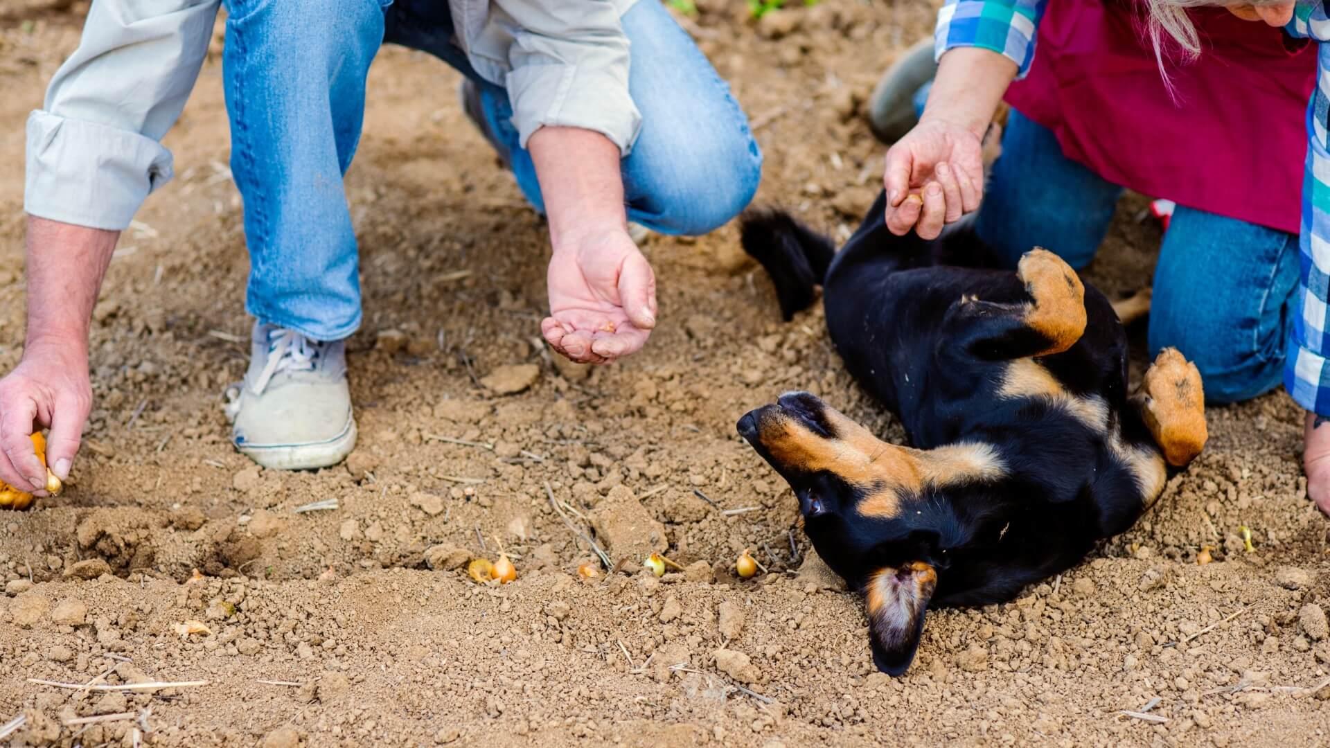 כלב נשכב על בצלים מבלי לאכול אותם