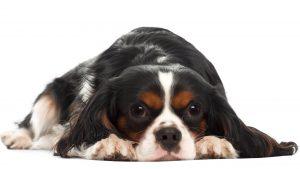 כלב חמוד לאחר צריכת פרוביוטיקה לכלבים