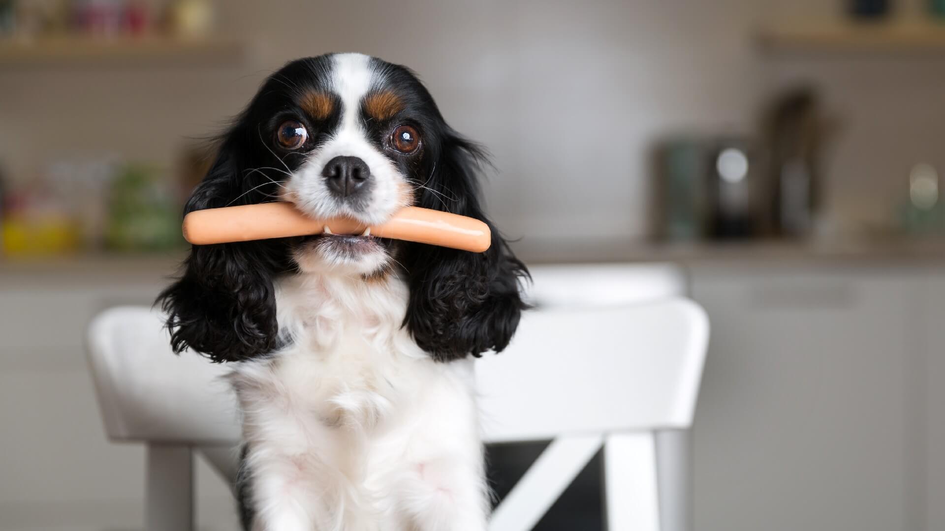 כלב אוכל נקניקייה עם פרוביוטיקה לכלבים