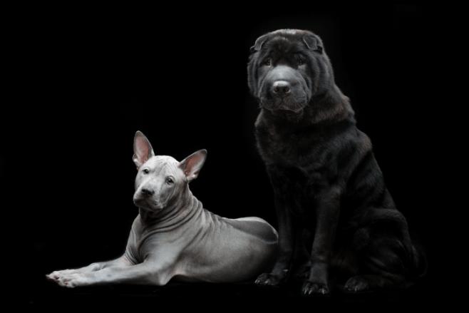 כלבי הפוטר של ספידי פט על רקע שחור